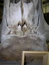 http://mczbase.mcz.harvard.edu/specimen_images/mammalogy/large/62052_Eubalaena_glacialis_hd4.jpg