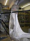 http://mczbase.mcz.harvard.edu/specimen_images/mammalogy/large/62052_Eubalaena_glacialis_hl3.jpg