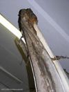 http://mczbase.mcz.harvard.edu/specimen_images/mammalogy/large/62052_Eubalaena_glacialis_hl5.jpg