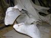 http://mczbase.mcz.harvard.edu/specimen_images/mammalogy/large/62052_Eubalaena_glacialis_hl6.jpg