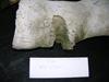 http://mczbase.mcz.harvard.edu/specimen_images/mammalogy/large/62052_Eubalaena_glacialis_hume_f2.jpg