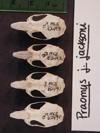 http://mczbase.mcz.harvard.edu/specimen_images/mammalogy/large/62490_Praomys_jacksoni_hd.jpg