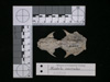 http://mczbase.mcz.harvard.edu/specimen_images/mammalogy/large/62978_Mustela_macrodon_hd.jpg