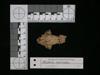 http://mczbase.mcz.harvard.edu/specimen_images/mammalogy/large/62980_Mustela_macrodon_hd2.jpg