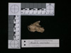 http://mczbase.mcz.harvard.edu/specimen_images/mammalogy/large/62980_Mustela_macrodon_hd3.jpg