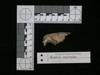 http://mczbase.mcz.harvard.edu/specimen_images/mammalogy/large/62980_Mustela_macrodon_hl.jpg