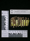 http://mczbase.mcz.harvard.edu/specimen_images/mammalogy/large/62980_Mustela_macrodon_md.jpg