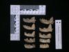 http://mczbase.mcz.harvard.edu/specimen_images/mammalogy/large/62980_Mustela_macrodon_ml2.jpg