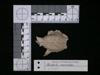 http://mczbase.mcz.harvard.edu/specimen_images/mammalogy/large/62983_Mustela_macrodon_hd.jpg