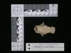 http://mczbase.mcz.harvard.edu/specimen_images/mammalogy/large/62983_Mustela_macrodon_hd3.jpg