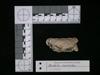 http://mczbase.mcz.harvard.edu/specimen_images/mammalogy/large/62983_Mustela_macrodon_hl.jpg