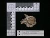 http://mczbase.mcz.harvard.edu/specimen_images/mammalogy/large/62983_Mustela_macrodon_hv.jpg