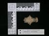 http://mczbase.mcz.harvard.edu/specimen_images/mammalogy/large/62983_Mustela_macrodon_hv3.jpg
