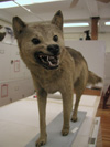 http://mczbase.mcz.harvard.edu/specimen_images/mammalogy/large/6339_Canis_familiaris_dingo_f.jpg