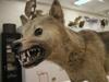 http://mczbase.mcz.harvard.edu/specimen_images/mammalogy/large/6339_Canis_familiaris_dingo_hl.jpg