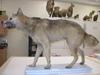 http://mczbase.mcz.harvard.edu/specimen_images/mammalogy/large/6339_Canis_familiaris_dingo_l.jpg