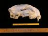 http://mczbase.mcz.harvard.edu/specimen_images/mammalogy/large/63600_Felis_concolor_hl.jpg