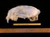 http://mczbase.mcz.harvard.edu/specimen_images/mammalogy/large/63600_Felis_concolor_hl2.jpg