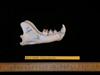 http://mczbase.mcz.harvard.edu/specimen_images/mammalogy/large/63600_Felis_concolor_ml.jpg