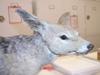 http://mczbase.mcz.harvard.edu/specimen_images/mammalogy/large/63651_Canis_mesomelas_hl.jpg