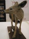 http://mczbase.mcz.harvard.edu/specimen_images/mammalogy/large/63651_Canis_mesomelas_hl2.jpg
