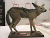 http://mczbase.mcz.harvard.edu/specimen_images/mammalogy/large/63651_Canis_mesomelas_l.jpg