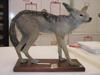 http://mczbase.mcz.harvard.edu/specimen_images/mammalogy/large/63651_Canis_mesomelas_l2.jpg