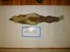 http://mczbase.mcz.harvard.edu/specimen_images/mammalogy/large/64290_Mephitis_mephitis_nigra_d.jpg