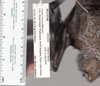 http://mczbase.mcz.harvard.edu/specimen_images/mammalogy/large/67148_Lasiurus_cinereus_rd.jpg
