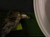 http://mczbase.mcz.harvard.edu/specimen_images/mammalogy/large/67317_Sorex_cinereus_cinereus_hl2.jpg