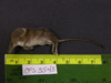 http://mczbase.mcz.harvard.edu/specimen_images/mammalogy/large/67317_Sorex_cinereus_cinereus_l.jpg