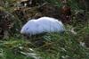http://mczbase.mcz.harvard.edu/specimen_images/mammalogy/large/68364_Microtus_pennsylvanicus_pennsylvanicus_l2.jpg