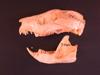 http://mczbase.mcz.harvard.edu/specimen_images/mammalogy/large/7000_Phalanger_orientalis_ornatus_hl.jpg