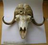 http://mczbase.mcz.harvard.edu/specimen_images/mammalogy/large/7995_Ovibos_moschatus_wardi_hf.jpg