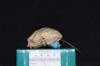 http://mczbase.mcz.harvard.edu/specimen_images/mammalogy/large/8043_Aotus_trivirgatus_infulatus_hl.jpg