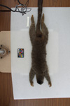 http://mczbase.mcz.harvard.edu/specimen_images/mammalogy/large/8044_Lemur_fulvus_fulvus_d.jpg