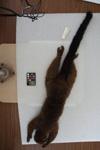 http://mczbase.mcz.harvard.edu/specimen_images/mammalogy/large/8045_Lemur_rubriventer_d.jpg