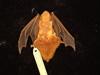 http://mczbase.mcz.harvard.edu/specimen_images/mammalogy/large/8665_Lasiurus_borealis_borealis_d.jpg
