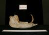 http://mczbase.mcz.harvard.edu/specimen_images/mammalogy/large/9400_Babyrousa_babyrousa_ml.jpg