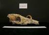 http://mczbase.mcz.harvard.edu/specimen_images/mammalogy/large/9401_Babyrousa_babyrousa_hl.jpg