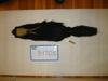 http://mczbase.mcz.harvard.edu/specimen_images/mammalogy/large/BANGS-1705_Mephitis_mephitis_nigra_d.jpg