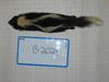 http://mczbase.mcz.harvard.edu/specimen_images/mammalogy/large/BANGS-2024_Mephitis_mephitis_mephitis_d.jpg