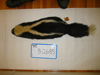 http://mczbase.mcz.harvard.edu/specimen_images/mammalogy/large/BANGS-2685_Mephitis_mephitis_nigra_d.jpg