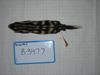 http://mczbase.mcz.harvard.edu/specimen_images/mammalogy/large/BANGS-3477_Spilogale_putorius_ambarvalis_d.jpg