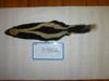 http://mczbase.mcz.harvard.edu/specimen_images/mammalogy/large/BANGS-3802_Mephitis_mephitis_mephitis_d.jpg