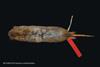 http://mczbase.mcz.harvard.edu/specimen_images/mammalogy/large/BANGS-5016_Geomys_pinetis_pinetis_d.jpg