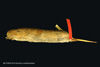 http://mczbase.mcz.harvard.edu/specimen_images/mammalogy/large/BANGS-5016_Geomys_pinetis_pinetis_l.jpg