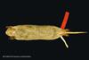 http://mczbase.mcz.harvard.edu/specimen_images/mammalogy/large/BANGS-5016_Geomys_pinetis_pinetis_v.jpg