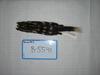 http://mczbase.mcz.harvard.edu/specimen_images/mammalogy/large/BANGS-5541_Spilogale_putoris_latifrons_d.jpg