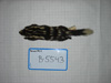 http://mczbase.mcz.harvard.edu/specimen_images/mammalogy/large/BANGS-5543_Spilogale_putoris_latifrons_d.jpg